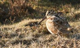 一只惊人的鸟鹬,鸟鹬类rusticola,坐在草 那么很好被伪装能几乎不被看见 免版税库存照片