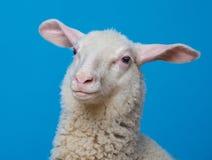 一只愉快的羊羔 免版税库存照片