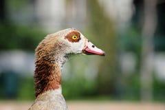 一只愉快的鸭子的纵向 免版税库存图片