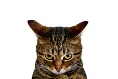一只愤怒的猫 免版税图库摄影