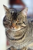一只懒惰猫的纵向 免版税库存照片