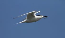 一只成人三明治燕鸥,胸骨sandvicensis,在飞行中与在它的额嘴的一条鱼 库存照片