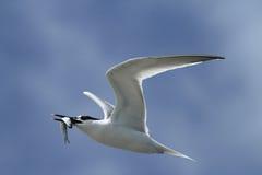 一只成人三明治燕鸥,胸骨sandvicensis,在飞行中与在它的额嘴的一条鱼 免版税库存照片