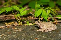 一只成人北灰色雨蛙 库存照片