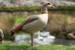 一只成人埃及鹅的画象 免版税库存照片
