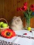 一只成人波斯猫的画象坐厨房用桌 免版税库存图片