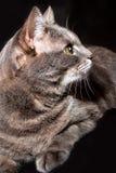 一只成人灰色猫的画象 免版税库存图片