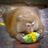 一只成人猴子坐地面并且吃一个成熟芒果 免版税库存图片