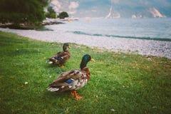 一只成人鸭子在地面上走在池塘附近 意大利Lago di加尔达在夏天 图库摄影