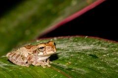 一只成人黄褐色的雨蛙 库存照片