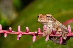 一只成人黄褐色的雨蛙 免版税库存图片