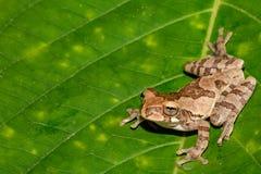 一只成人黄褐色的雨蛙 免版税库存照片