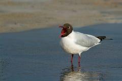 一只成人黑带头的鸥,海鸥 免版税库存照片