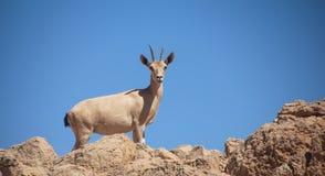 一只成熟母Nubian高地山羊,蓝天背景 免版税库存照片