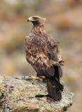 一只成年女性鹫 免版税库存照片