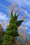 以一只手的形式常春藤覆盖的树在蓝天下 库存图片
