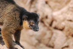 一只抓住衣领口的布朗狐猴的甜布朗眼睛 库存图片