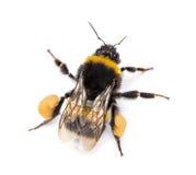 从一只抛光被盯梢的土蜂的上流,熊蜂terrestris的看法 免版税库存图片