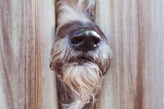 一只护羊狗的特写镜头鼻子在木篱芭之间的到邻居里'S庭院 免版税图库摄影