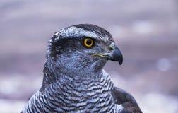 一只掠食性猎鹰的画象 图库摄影