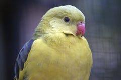 一只摄政的鹦鹉 免版税库存图片