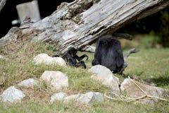 一只敏捷长臂猿和她的年轻人 免版税库存照片