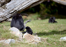 一只敏捷长臂猿和她的婴孩 免版税库存照片
