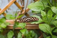 一只斑马longwing的蝴蝶的特写镜头在一片绿色叶子的 免版税库存图片