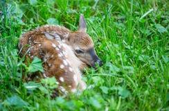 一只新出生的小鹿在象草的郊区草坪掩藏 免版税库存图片