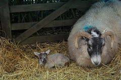 一只新出生的羊羔和她的母亲 库存照片
