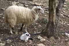 一只新出生的羊羔和母羊的绵羊在农田里 免版税库存照片