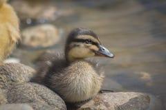 一只新出生的黑暗的鸭子的画象 库存照片