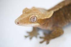 一只新的古苏格兰有顶饰壁虎(Rhacodactylus cili的画象 库存图片