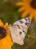 一只方格的白色蝴蝶的垂直的图象 免版税库存图片