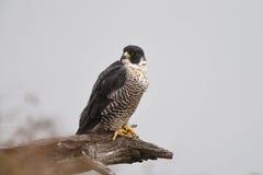一只旅游猎鹰在死的肢体栖息 库存照片
