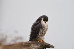 一只旅游猎鹰在死的肢体栖息 免版税库存图片