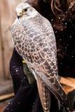 一只旅游猎鹰的美丽的画象在手边坐xmas市场 库存照片