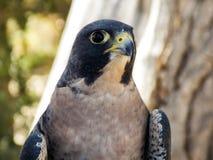一只旅游猎鹰的顶头射击 免版税库存图片