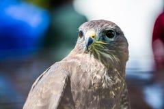 一只旅游猎鹰,游隼科peregrinus,坐 库存图片