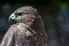 一只旅游猎鹰,游隼科peregrinus,坐 库存照片