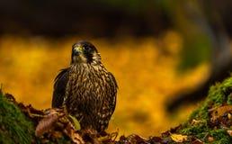 一只旅游猎鹰 库存图片