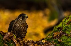 一只旅游猎鹰 图库摄影