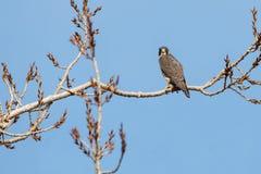 一只旅游猎鹰 免版税库存图片