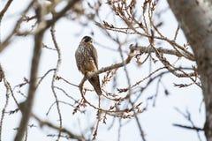 一只旅游猎鹰 免版税库存照片