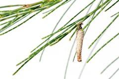 一只昆虫的蛹在叶子杉木的 库存图片