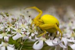 一只明亮的黄色螃蟹蜘蛛(Misumena vatia)的细节在一朵花在德文郡草甸 库存照片