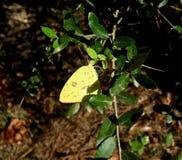一只明亮的黄色蝴蝶的宏指令 图库摄影