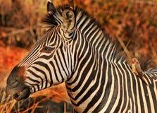 一只普通斑马的旁边外形与好的金黄阳光的反对自然灌木背景 也有oxpecker栖息 免版税库存图片