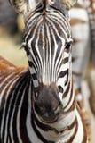 一只普通斑马的画象 免版税库存图片