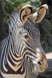 一只普通斑马的画象 库存图片